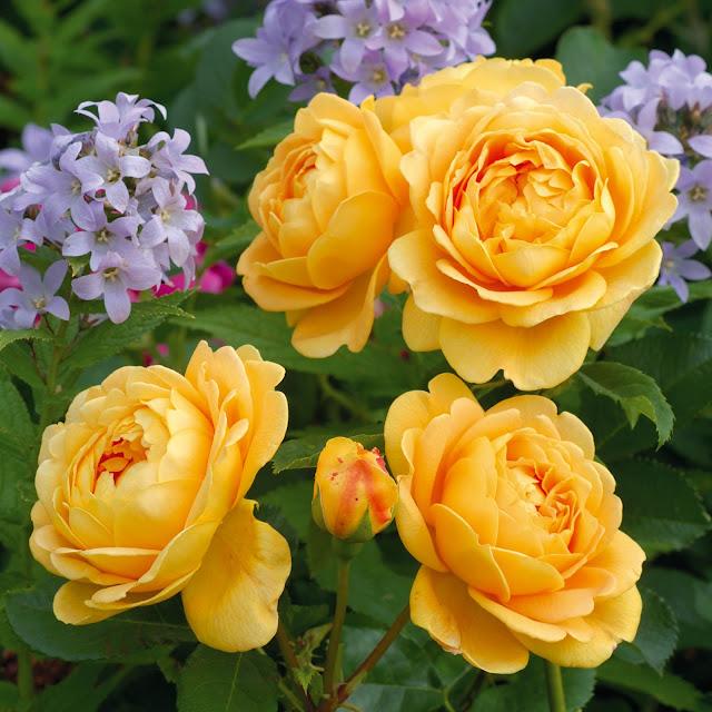 Chùm hoa hồng leo mầu vàng nhập khẩu châu Âu