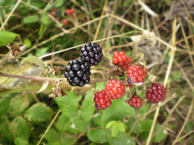 Red and Black Blackberries on Bush