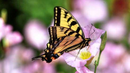 proses,metamorfosis,kupu-kupu
