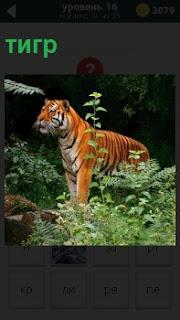 Хищник тигр в зарослях готовится к охоте, принял стойку к прыжку