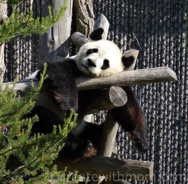 giant tiger panda