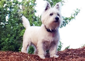 Westie Pet Portrait Reference