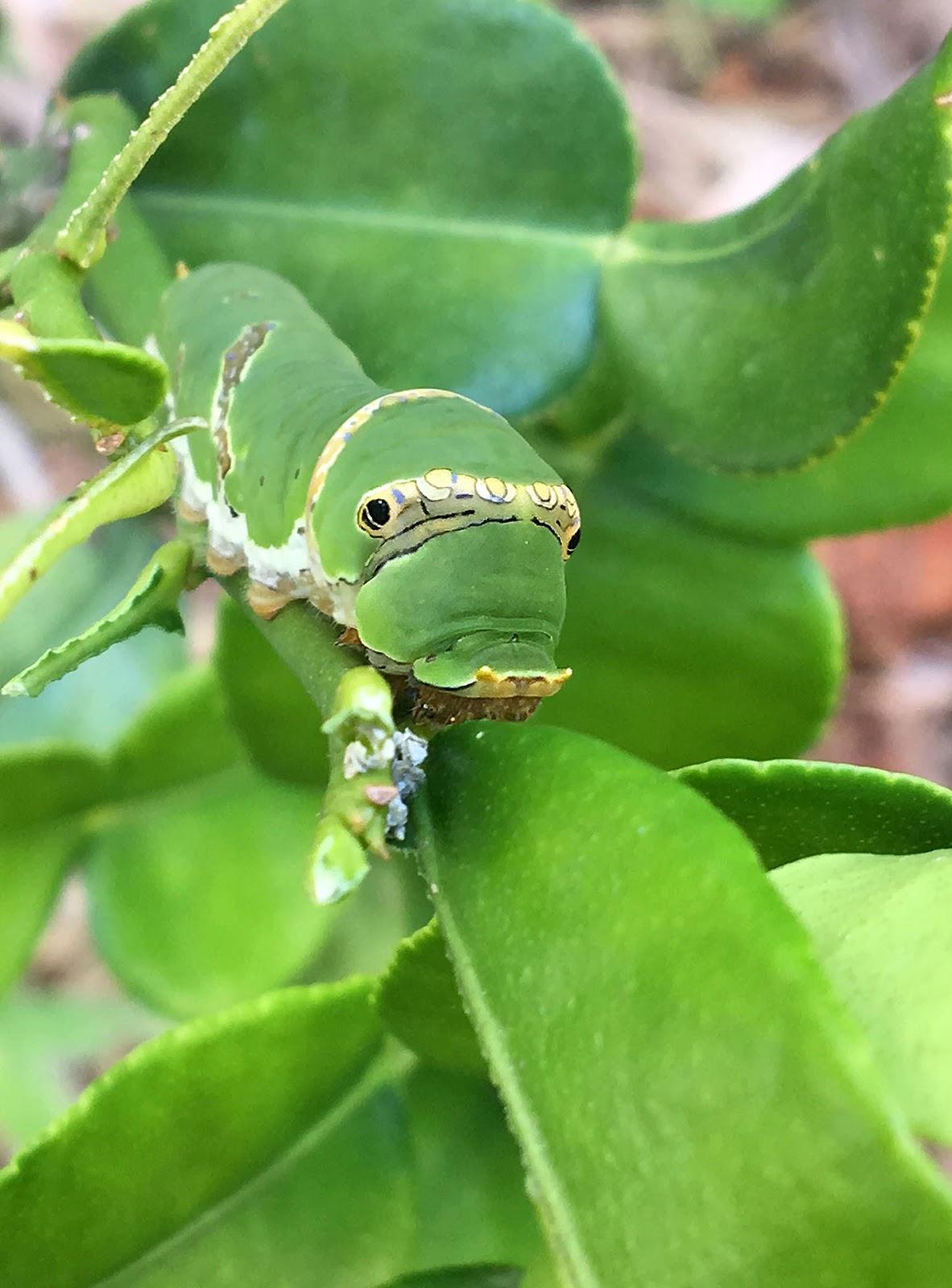 Ulat Beluncas - Common Mormon Butterfly Caterpillar