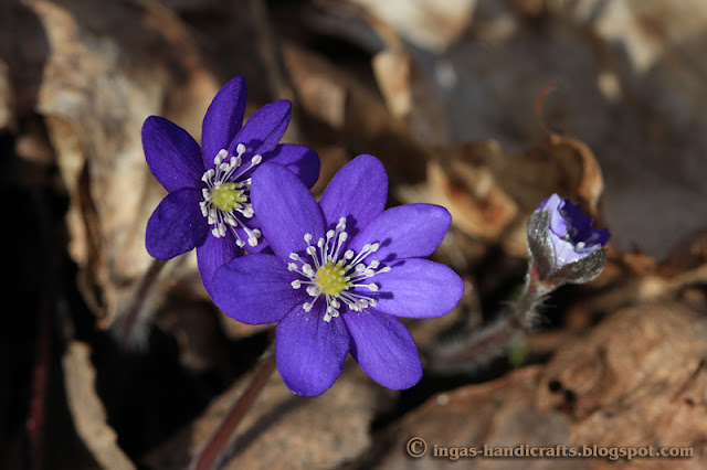 sinililled blue anemone