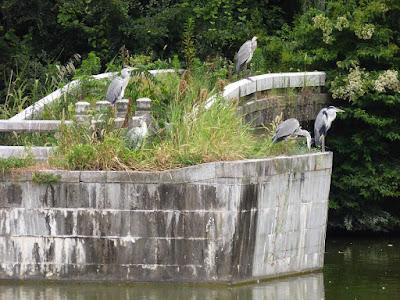 花博記念公園鶴見緑地 大池のアオサギ
