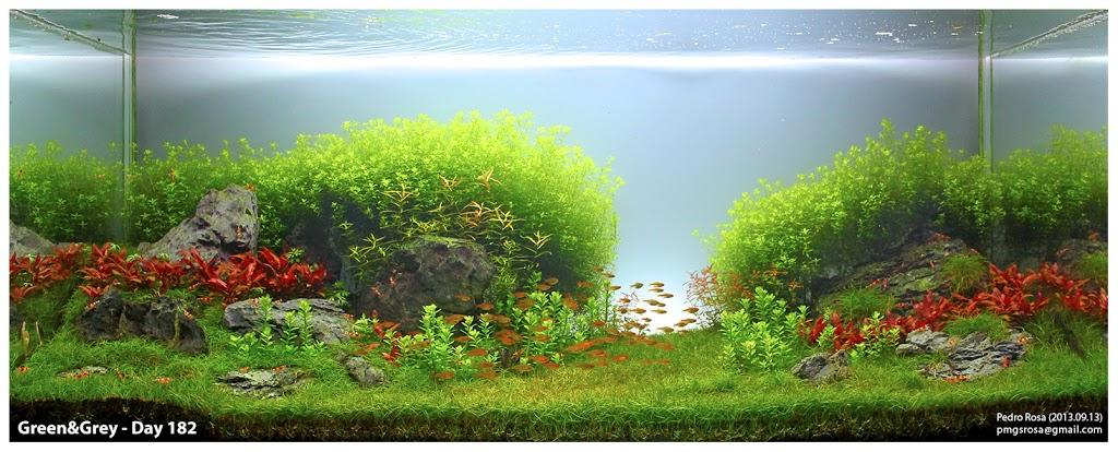 Huyết tâm lan mini được trồng ở vị trí trung cảnh trong hồ thủy sinh này