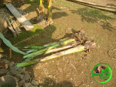 Bibit pisang siap ditanam