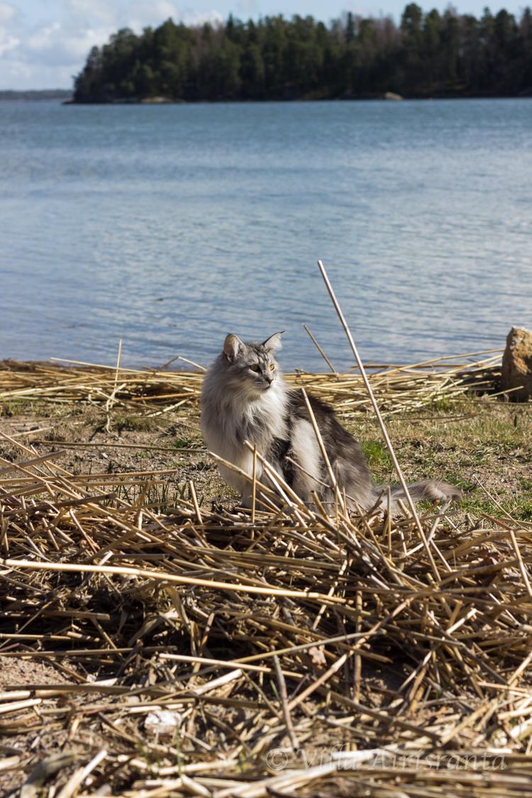 Saariston kevät, Maine Coon, kissat