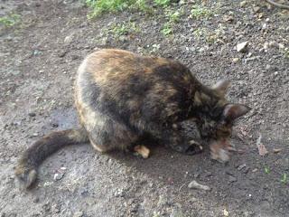 Benarkah Kucing Gemuk Tidak Sehat ? Inilah Penyebab dan Alasannya