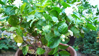 Caring for your Jasmine Plant