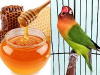 Manfaat Madu Untuk Lovebird: Meningkatkan Stamina Dan Rajin Ngekek
