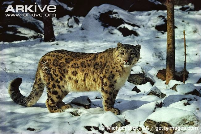 Leopardo de las nieves, Panthera uncia