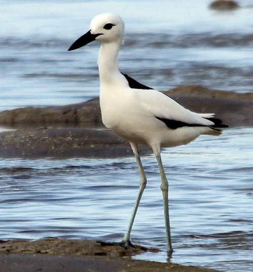 Indian birds - Picture of Crab-plover - Dromas ardeola