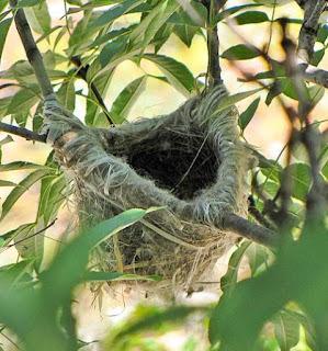 Oriolus oriolus nest