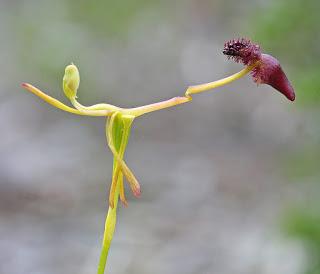 Hammer orchid (Drakaea)