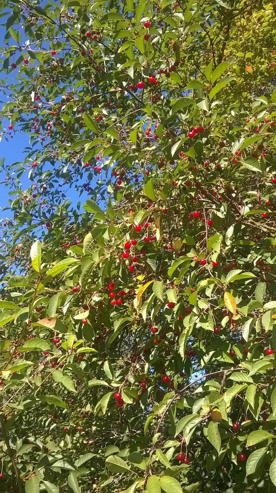 Kirsikkamehu