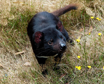 What is Tasmanian Devil? Facts and Quick Info 7