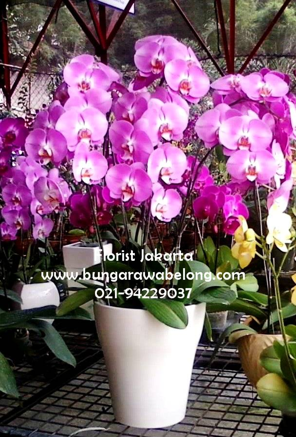 Rangkaian Bunga Anggrek Bulan Cantik  Toko Bunga Rawa Belong