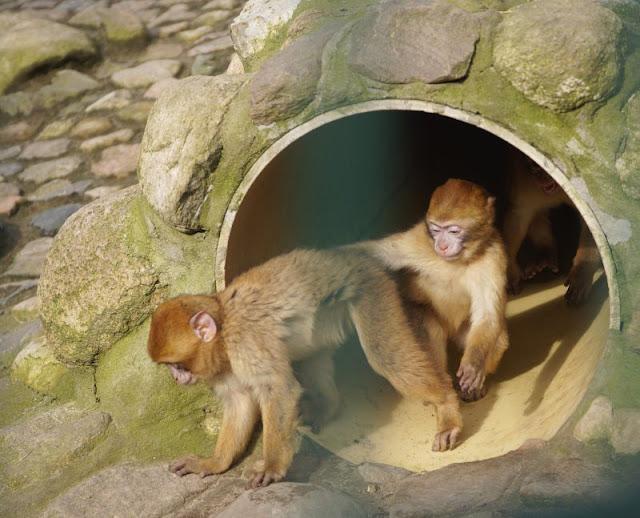 Frühling im Tierpark Gettorf (+ Verlosung). Der Nachwuchs der Berberaffen tobt gern in dem neuen Gehege des Tierparks.