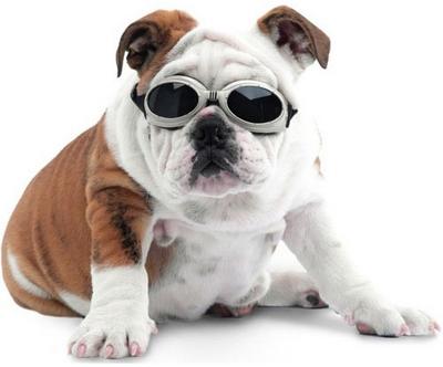 """Muita gente, quando vê um cão de óculos escuro, logo pensa  """"esse é  cachorrinho de madame!"""". O acessório é encarado por algumas pessoas como  futilidade, ... 2bf266fa32"""