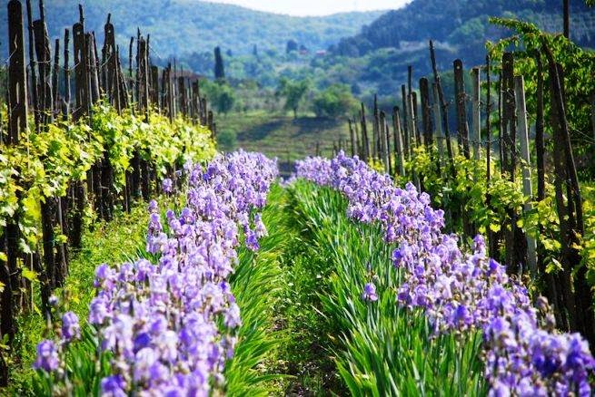 Irises planted between rows of grape vines in Tuscany