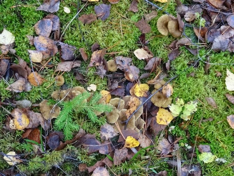 Iso sieni pää kukko kuvia