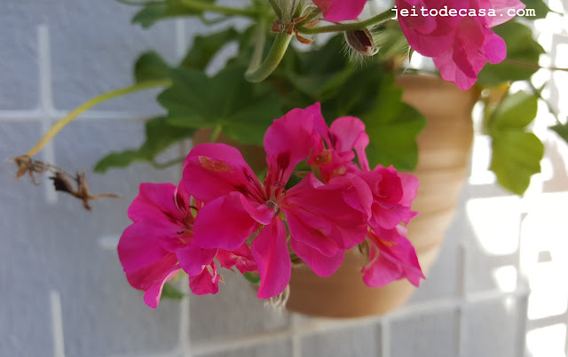 beautiful-pelargonium