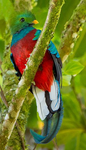 Resplendent Quetzal (Pharomachrus mocinno)   Our World's 10 Beautiful and Colorful Birds