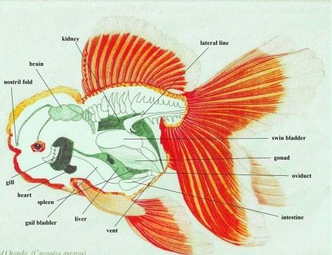 ANATOMY goldfish | FISH WORLDs.com