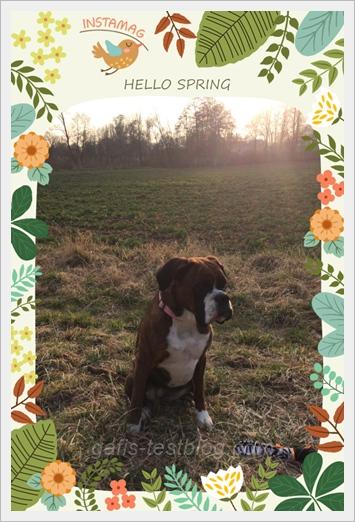 Hello Spring - Boxer Amy