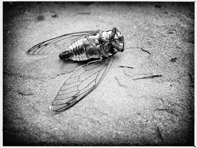 Cicada buzzing / in circadian rhythm / his urgent swan song. // haiku - micropoetry - haikumages