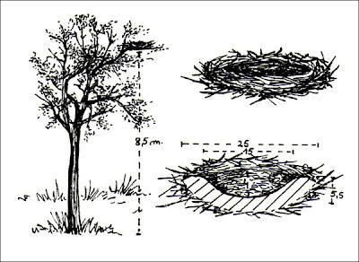 nido de Gavilán azulado grande Ictinia plumbea