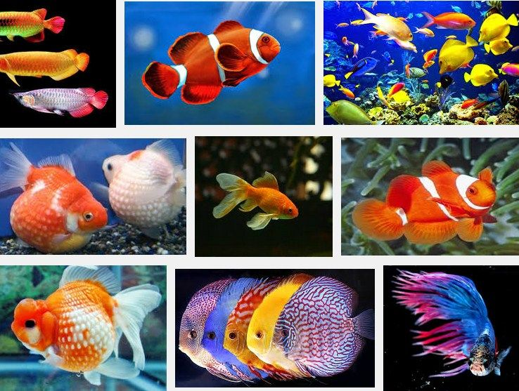 Jenis Ikan Hias Air Tawar Yang Bisa Dicampur dalam Satu Akuarium