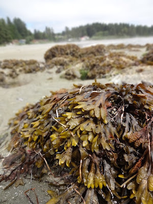 seaweed-brown%2Bkelp.jpg