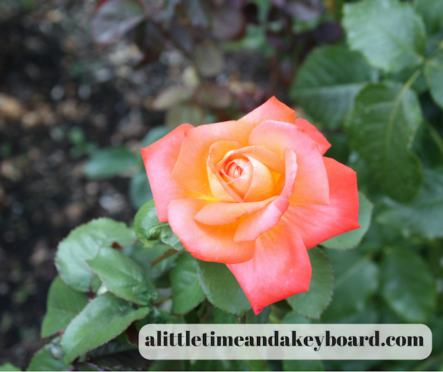 Lovely salmon colored rose at the International Rose Test Garden in Portland, Oregon.