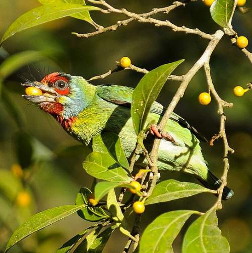 Indian birds - Image of Malabar barbet - Psilopogon malabaricus