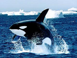 مادة تستخرج من كبد الحوت وتستخدم لتصنيع افضل انواع العطور