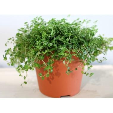 les plantes vertes du moment caract rielle