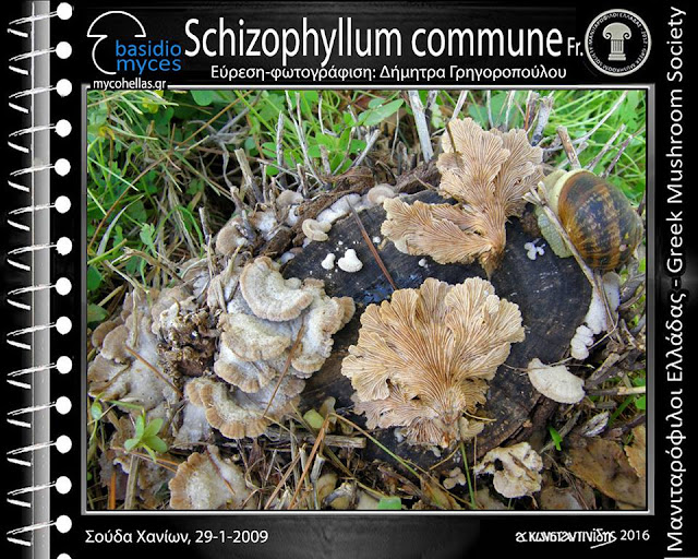 Schizophyllum commune Fr.