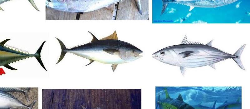 Mengenal Ikan Tuna Secara Detail