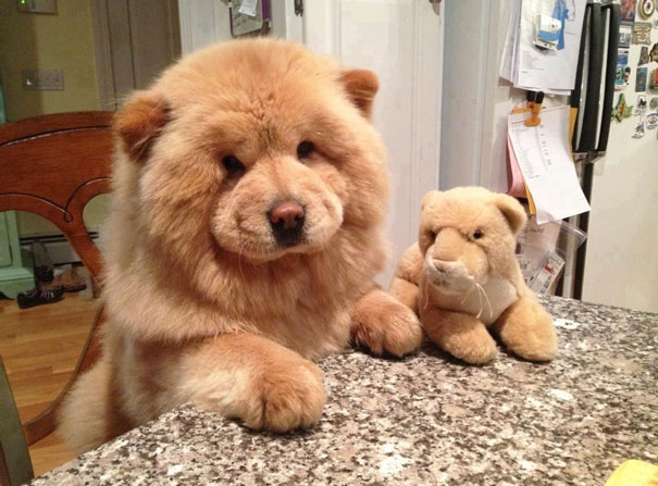 Chow Chow Puppy-1
