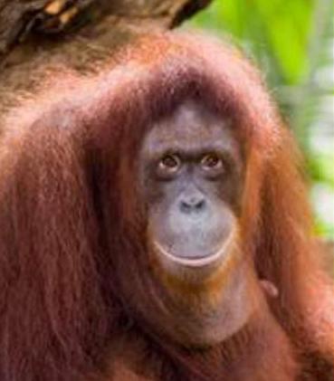Orangutan Kalimantan Hewan Primata Dilindungi  Animals Box