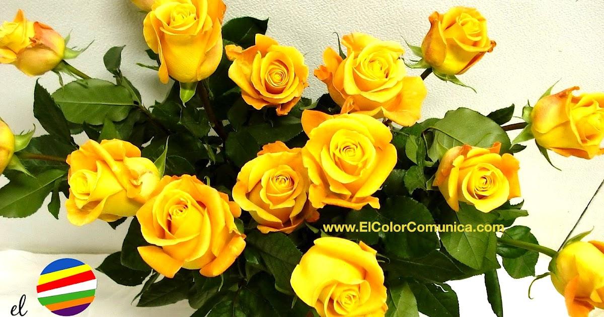 Fotos De Rosas Amarillas Para Descargar