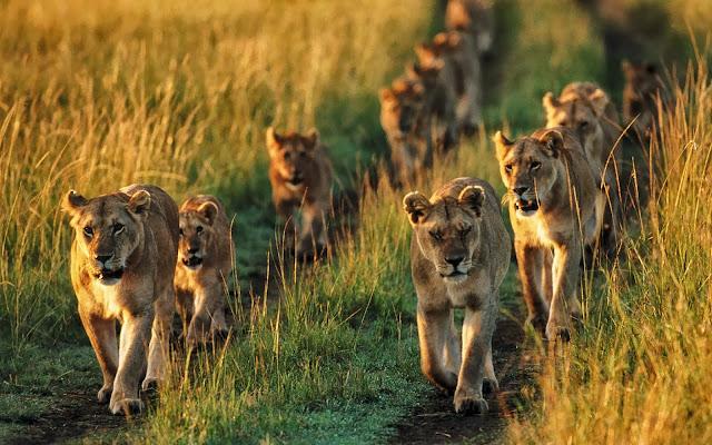 Foto met leeuwenfamilie in het wild
