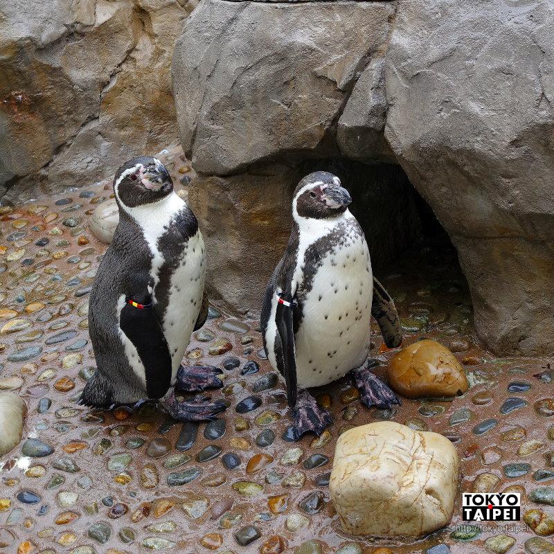 【新潟市水族館】從企鵝到各種魚類 有500種生物卻孤單的水族館