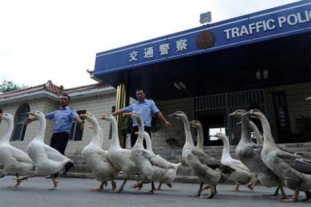 Cães policiais são substituídos por gansos