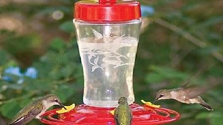 Makanan Burung Kolibri Terbaik Supaya Cepat Gacor