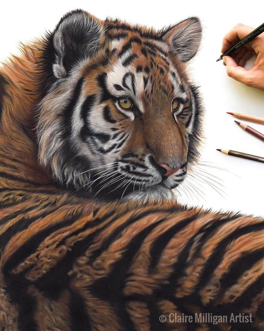 11-Tiger-Claire-Milligan-Realistic-Color-Pencil-Animal-Portraits-www-designstack-co