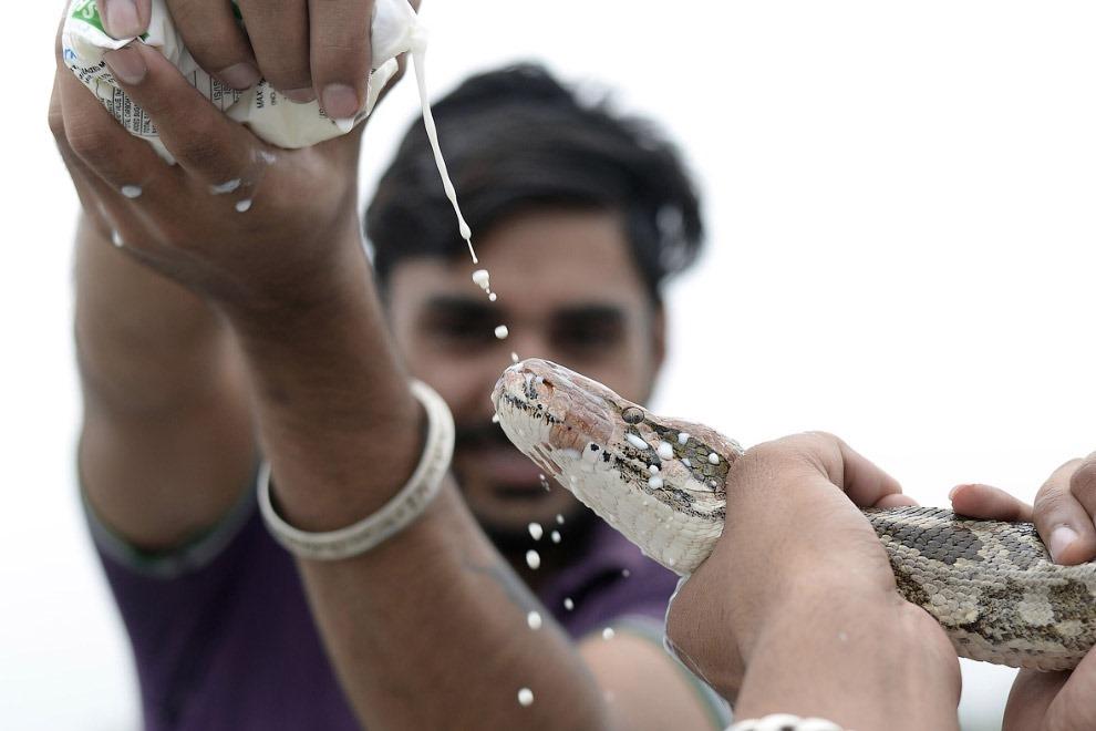 Змеиный фестиваль Nag Panchami