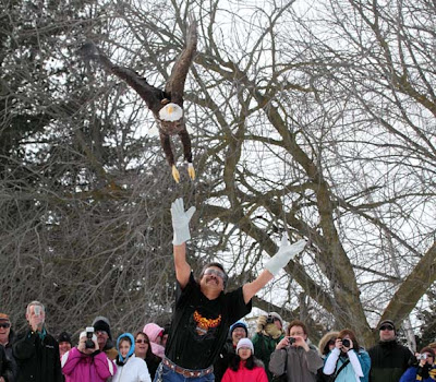 Harley the bald eagle released